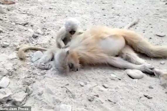 مؤثر.. قرد رضيع يحاول إيقاظ والدته بعد صعقها بالكهرباء