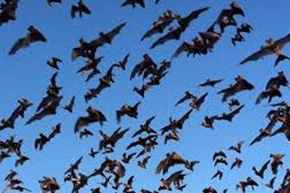 مجددا.. أسراب الخفافيش تظهر بالقليوبية وتهاجم الخانكة