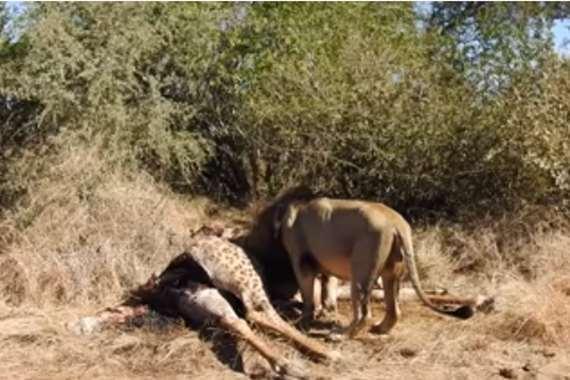 فيديو صادم.. أسد يخرج صغير زرافة من بطن أمه