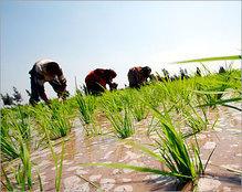 التصويت على مشروع قانون زراعة الأرز بالمحافظات الحدودية