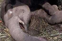 الفيلة نعيمة