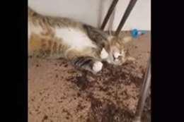 قطة الماريجوانا