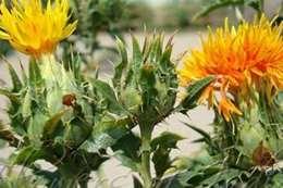 نبات العصفر