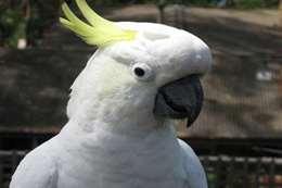 طيور الكوكاتو