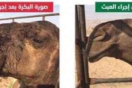 عملية تجميل لبقرة