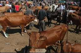 الفلاحين في سوق الماشية