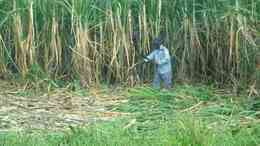 الزراعة: مصر تتصدر دول العالم في إنتاجية فدان قصب السكر