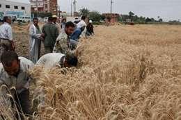 فلاحون يحصدون القمح
