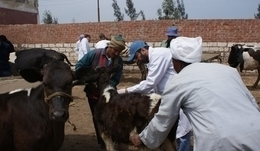 تحصين 89 ألف رأس ماشية ضد الحمى القلاعية