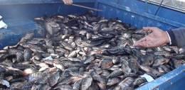 ضبط كمية كبيرة من الأسماك الفاسدة بالمنوفية