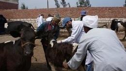 تحصين 34 ألف رأس ماشية بالمنيا خلال 2016