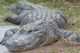 ظهور تمساح ضخم يعرقل المرور بفلوريدا