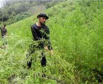 بالصور.. مداهمة مزارع الماريجوانا من قبل الجيش الإندونيسي