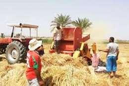حصاد القمح بالمنيا