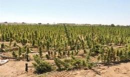 ضبط 135 ألف شجرة من نبات بانجو بالصف