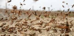 الزراعة تعلن الطوارئ لمواجهة غزو الجراد