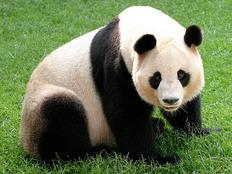 """شاهد.. خدعة """"الباندا العملاقة"""" تجتاح الإنترنت"""