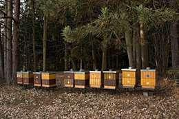 عسل الغابات