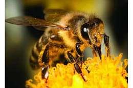 النحل البريطاني