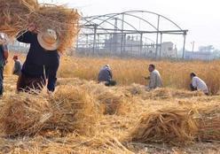 """استبعاد مسئول بـ""""زراعة الغربية"""" بسبب """"قش الأرز"""""""