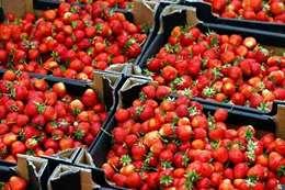 حظر صادرات الفراولة المصرية