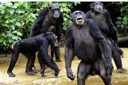 الشمبانزى