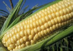 ضبط كمية من الذرة الصفراء مجهولة المصدر