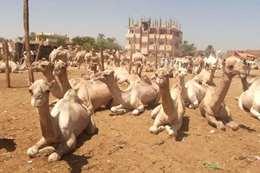 السماح لشحنة جمال سودانية