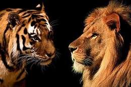 الأسد والنمر