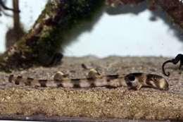 أنواع جديدة من أسماك القرش «تمشي» في أستراليا