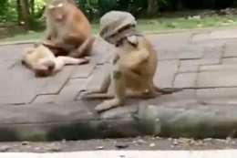 القرد يقلد البشر ويرتدي ?«كمامة كورونا»