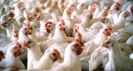 الحكومة تفقد السيطرة على أنفلونزا الطيور