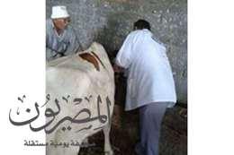 تحصين الأبقار ضد الحمى القلاعية