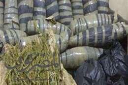 كميات من نبات البانجو المخدر