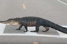 تمساح ضخم يعبر الطريق من المكان المخصص للمشاة