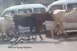 قطعان الأبقار تغزو شوارع بنها