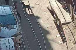 الكلاب في شوارع بنها