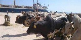 ميناء سفاجا يستعد لاستقبال 1700 رأس عجول من السودان