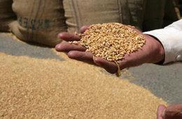 مليار جنيه تكلفة الفساد في توريد القمح