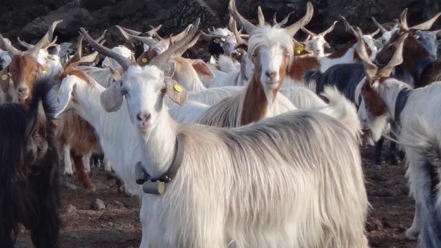 دراسة : استخدام الماعز كمصدر للتنبؤ بالإنفجارات البركانية