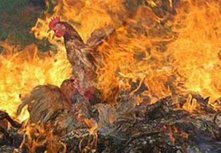 نفوق 2500 كتكوت فى حريق بمزرعة دواجن بالمنيا
