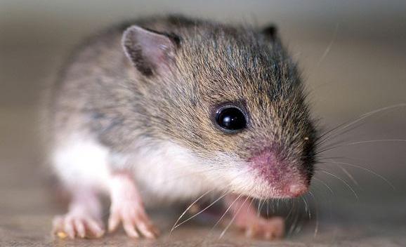 """باحثون يطورون """"أجنة اصطناعية"""" من الفئران"""