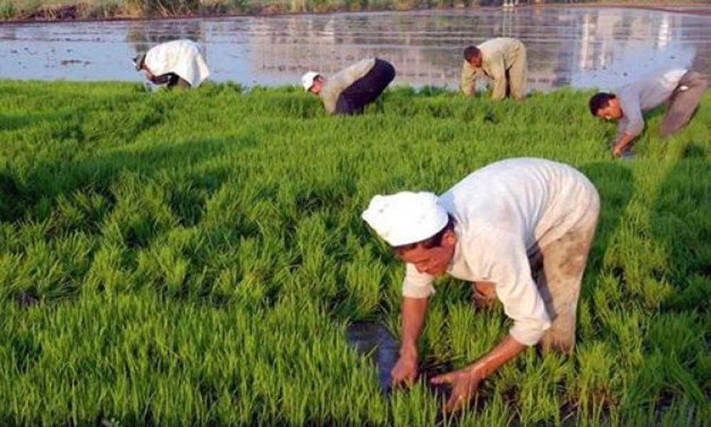 معلومة خطيرة يكشفها وزير البيئة بشأن زراعة الأرز
