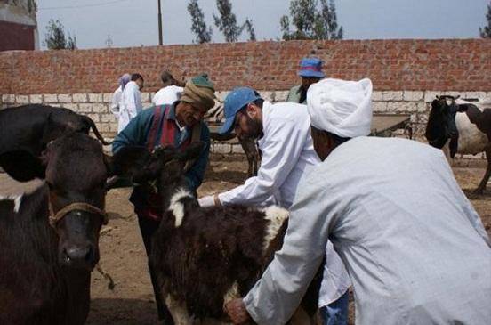 تحصين الماشية ضد الحمى القلاعية والوادي المتصدع