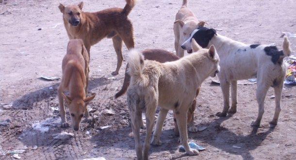 حملة للقضاء على الكلاب الضالة بالقصير