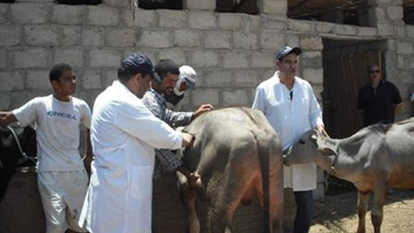 تحصين 544 رأس ماشية بلقاح الجدري بساحل سليم