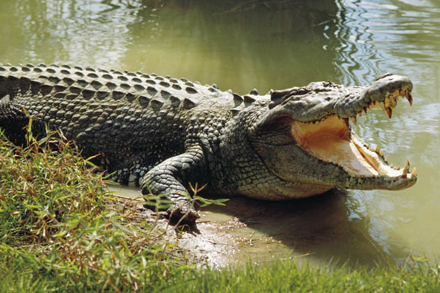 بالفيديو ...تمساح يتناول وجبة إفطاره