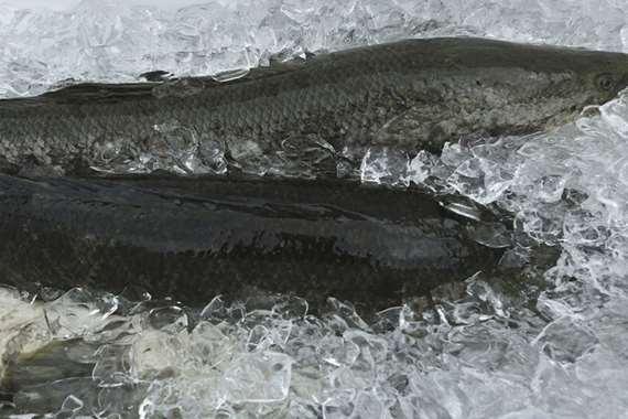 أسماك ثعبانية
