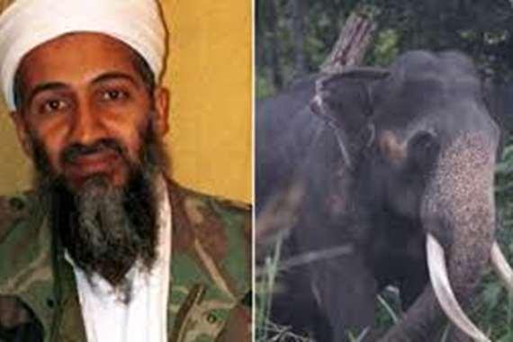 الفيل بن لادن