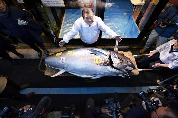 سمكة تونة